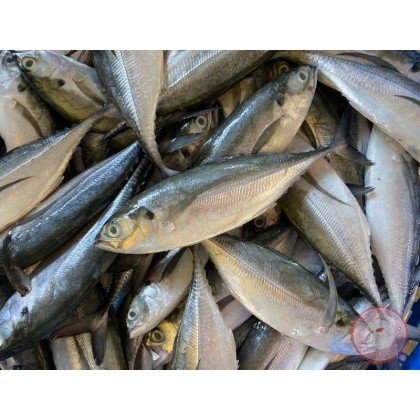 Hardtail Scad | Cencaru | 硬尾鱼 【1kg +-/pack】(4 - 5 pcs/pack)