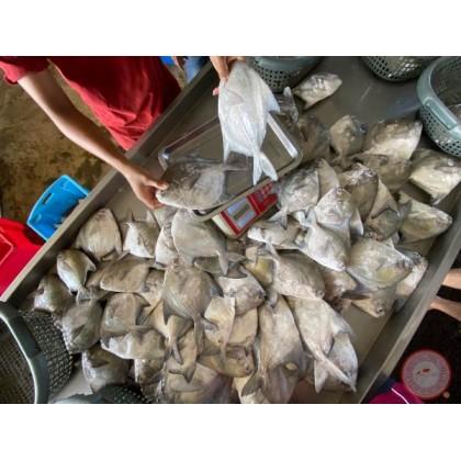 Chinese Pomfret (Sampan) Bawal Tambak 笼田鲳 【200g - 299g/pcs】(1 pcs/pack)